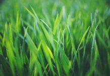 Kratka trawnikowa